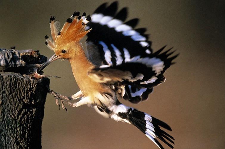 vogel steekt middelvinger op